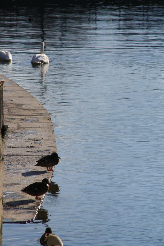 cignes et poules d'eau sur le Thiou
