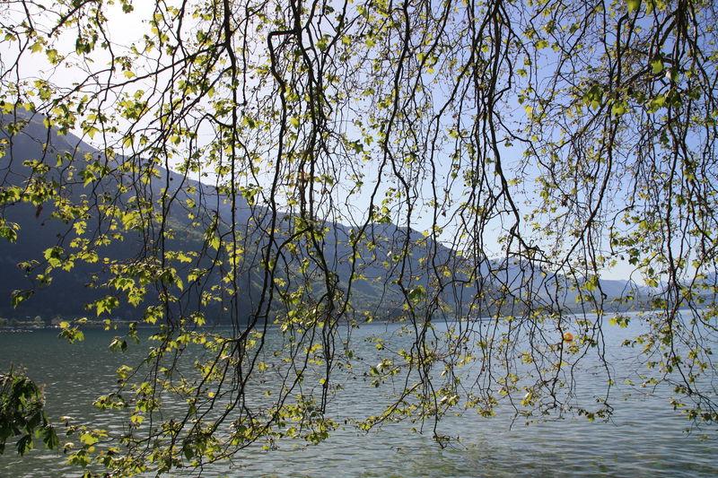 rideau de branches