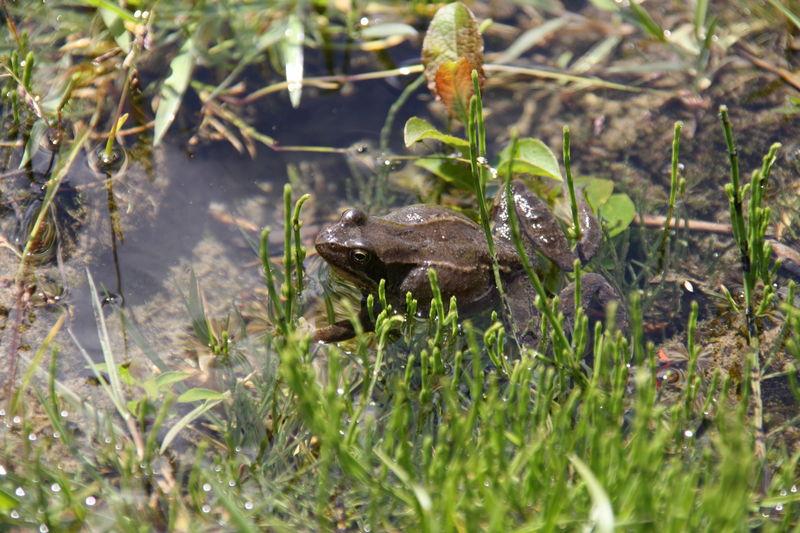 grenouille de lac