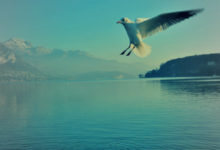 mouette lac Annecy